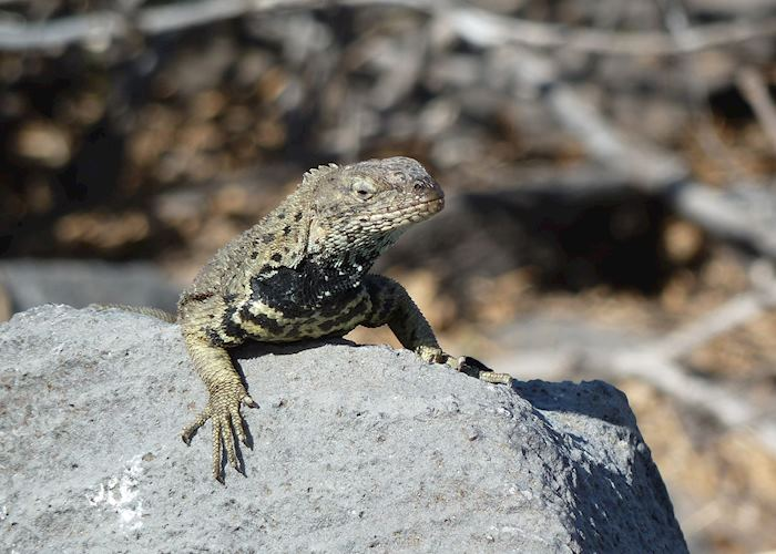 Lava Lizard, Galapagos Islands
