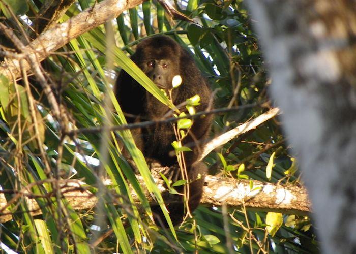 Black Howler Monkey, Lamanai Outpost, Belize