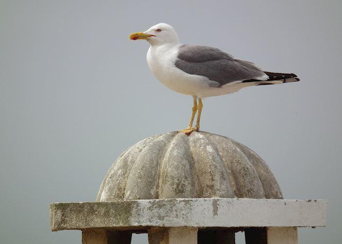 One of the many gulls in Essaouira, Morocco