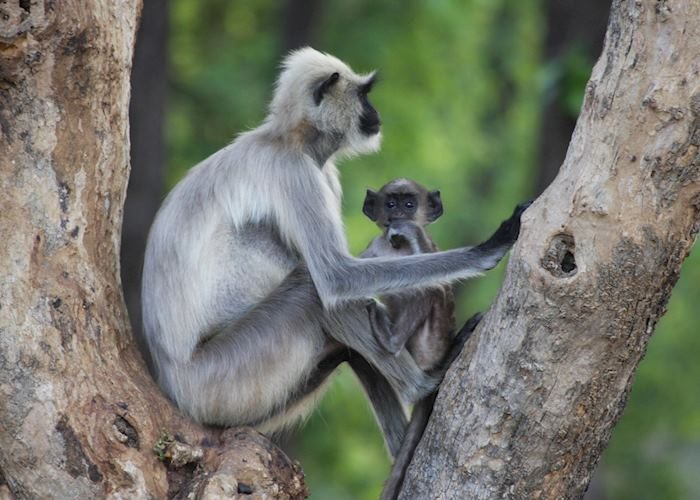 Mother and Baby Langur