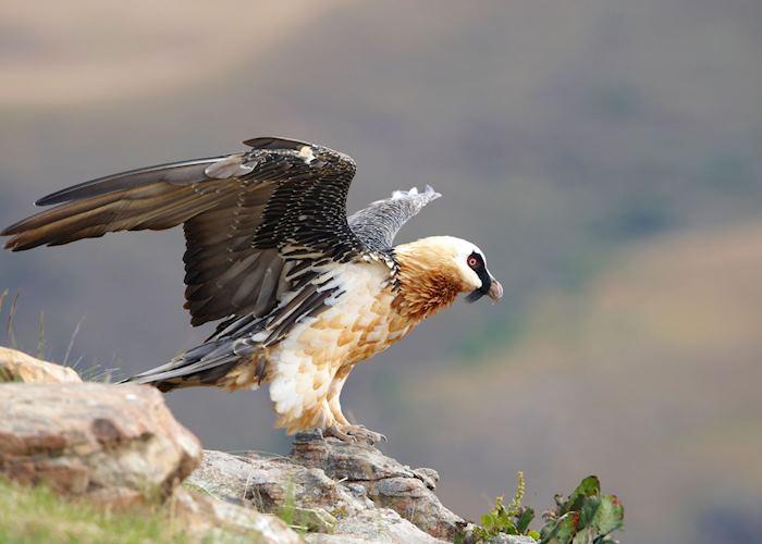 Lammergeier vulture, Drakensberg Mountains