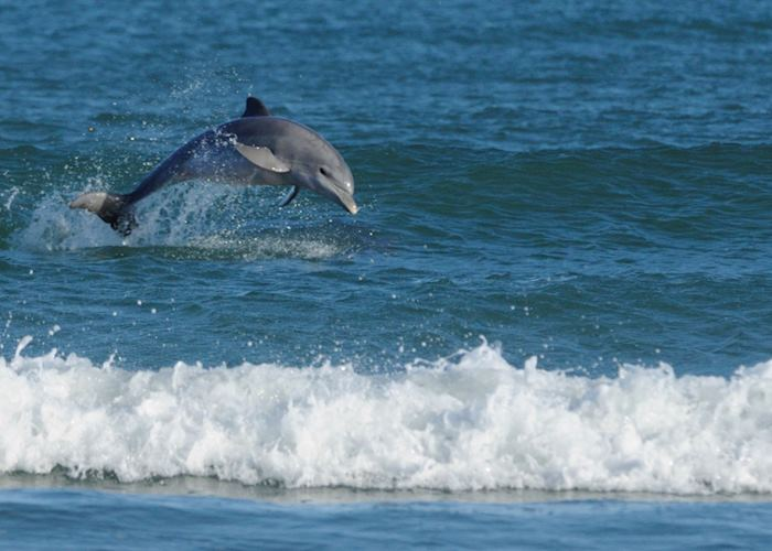 Dolphins playing in the surf, Plettenberg Bay