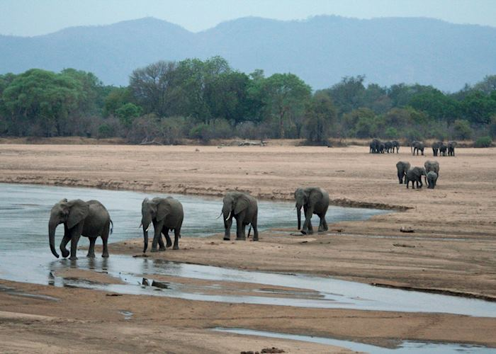 Elephants crossing the Luangwa River, South Luangwa National Park