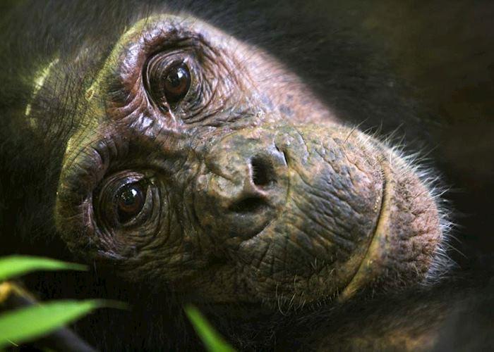 Chimpanzee, Mahale Mountains National Park