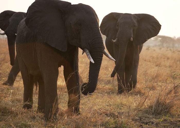 Elephants, Katavi National Park