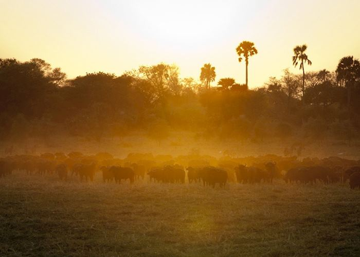 Herd of buffalo in the sunset, Katavi National Park