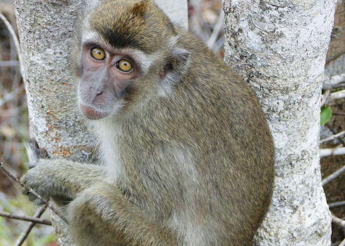 Adolescent Macaque