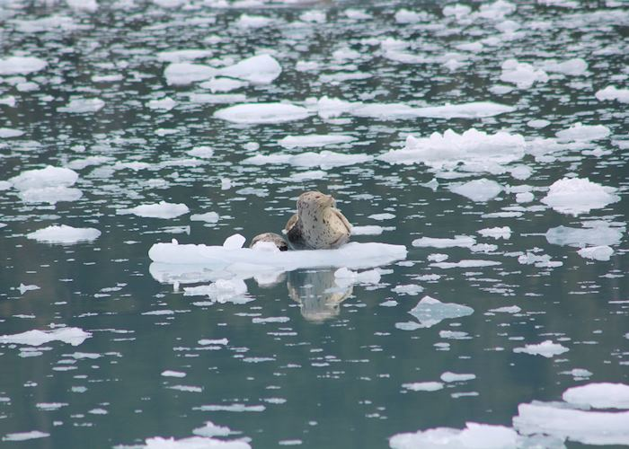 Seal resting on the ice, Meares Glacier