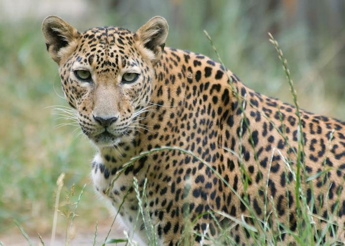 A young leopard, Yala