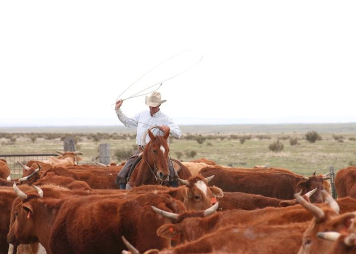 Corralling cattle, Zapata Ranch