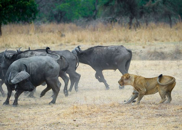 Lion hunting buffalo in the South Luangwa