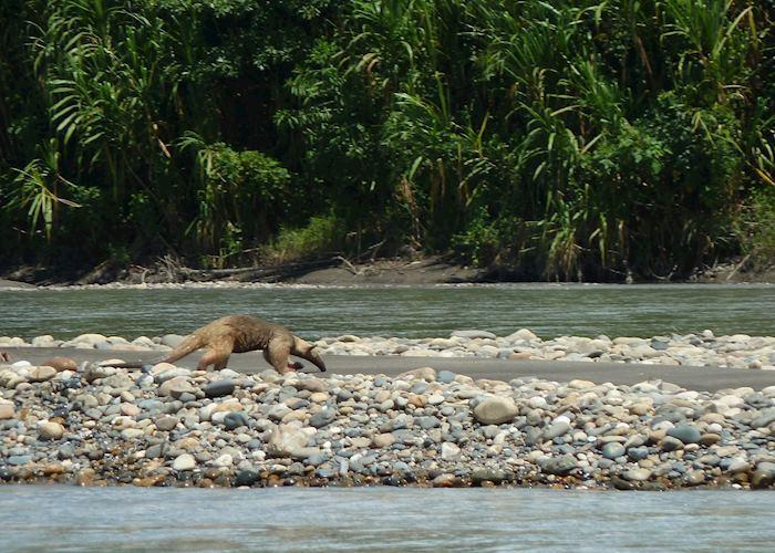 Tamandua, Peruvian Amazon