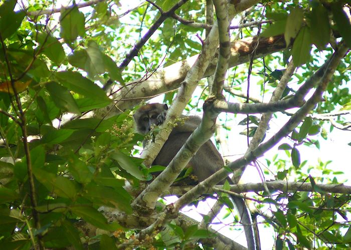 Long-tailed macaque on the Kinabatangan River, Malaysian Borneo