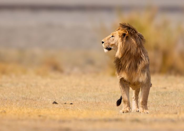Male lion in the Ngorongoro Crater, Tanzania