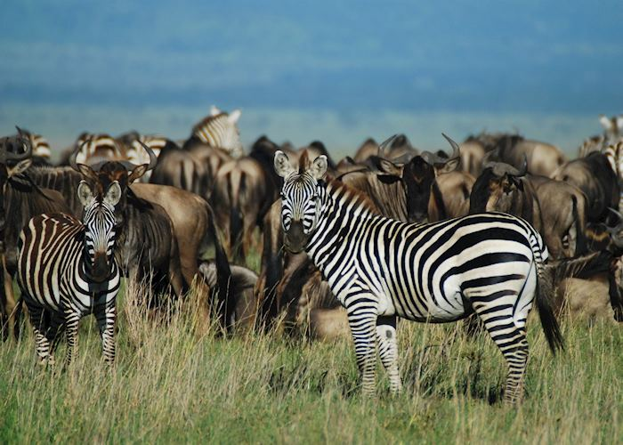 Migration herds, Serengeti National Park, Tanzania