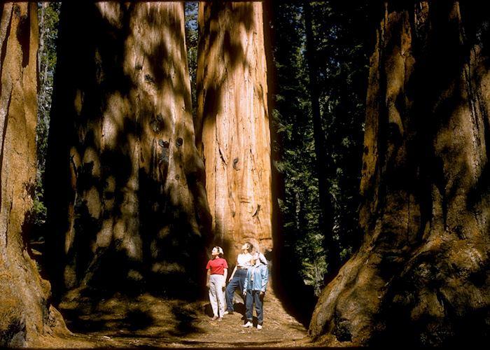 Amongst giant redwoods, Sequoia National Park