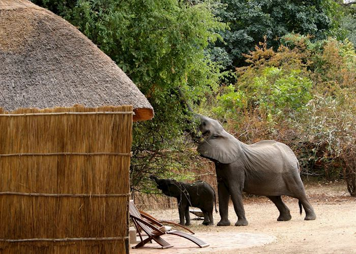 Elephants in camp, Kaingo Camp, South Luangwa National Park