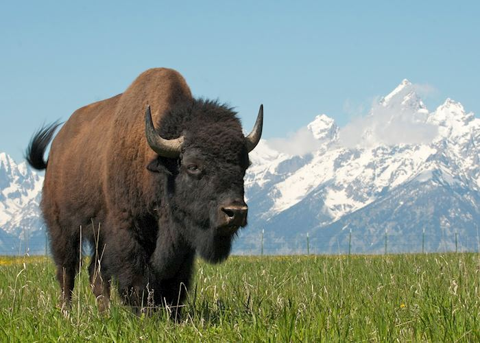 A bison in Grand Teton National Park