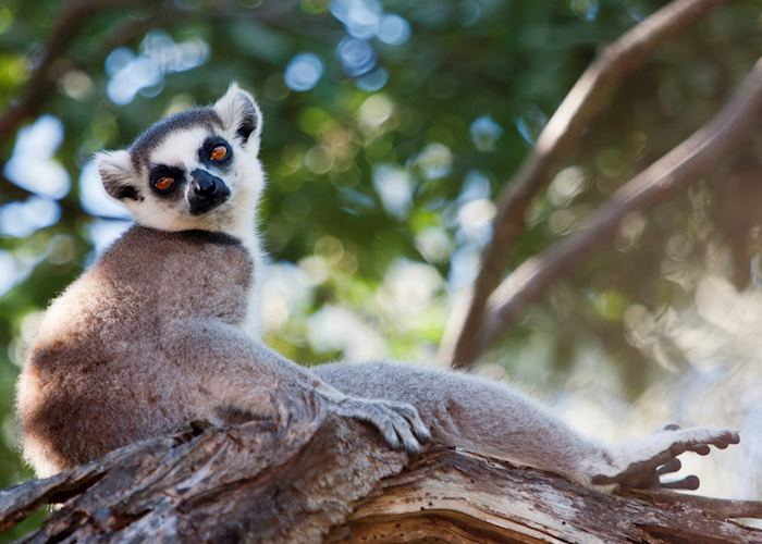 Ring-tailed lemur, Manafiafy, Madagascar