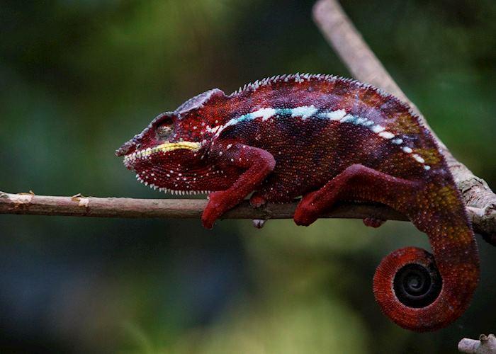 Chameleon in Manafiafy, Madagascar
