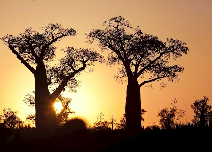 Baobabs at sunset, Ifotaka Community Forest, Madagascar