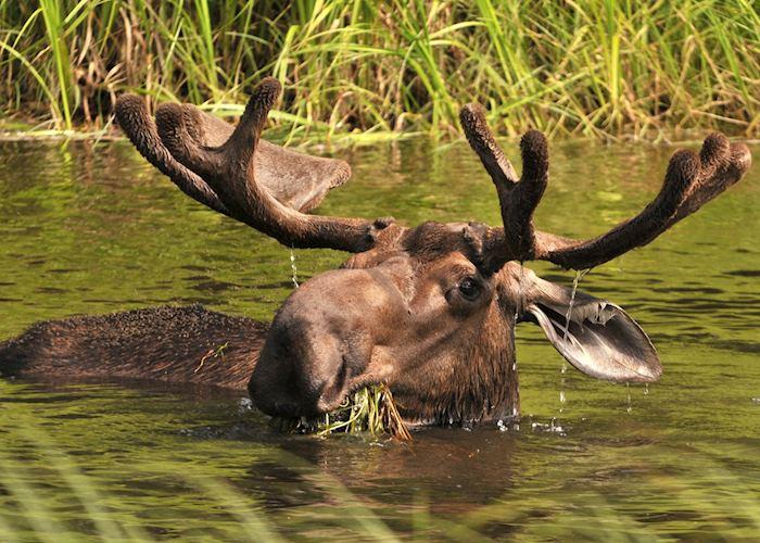 Moose near Fairbanks, Alaska