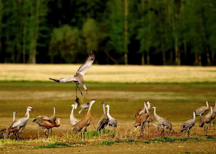 Sandhill Cranes, Fairbanks, Alaska