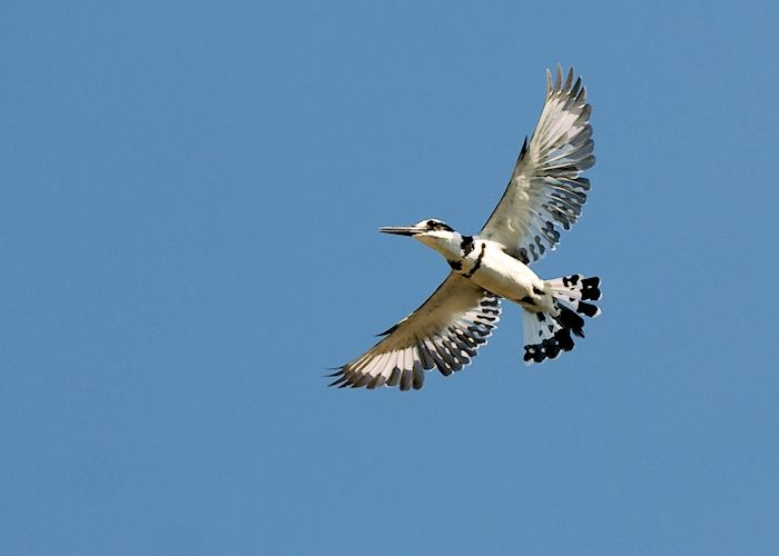 Pied kingfisher at Cape Maclear, Malawi