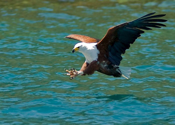 Fish eagle at Cape Maclear, Malawi