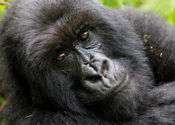Mountain gorilla, Virunga Volcanoes National Park