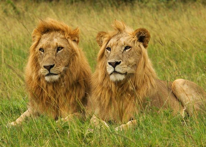 Male lions, Masai Mara