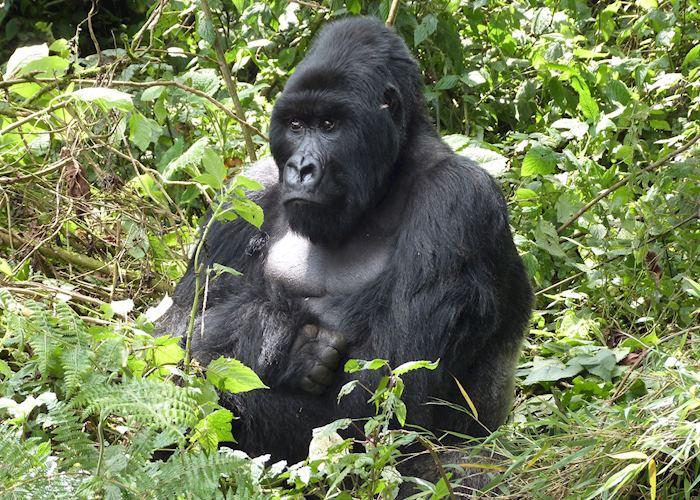 Gorilla, Volcanoes National Park