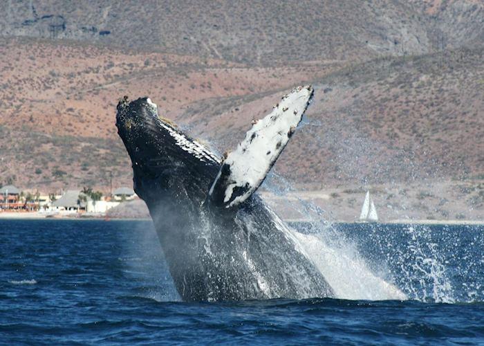 Humpback whale breaching, Baja