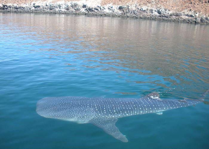 Whale-shark, La Paz