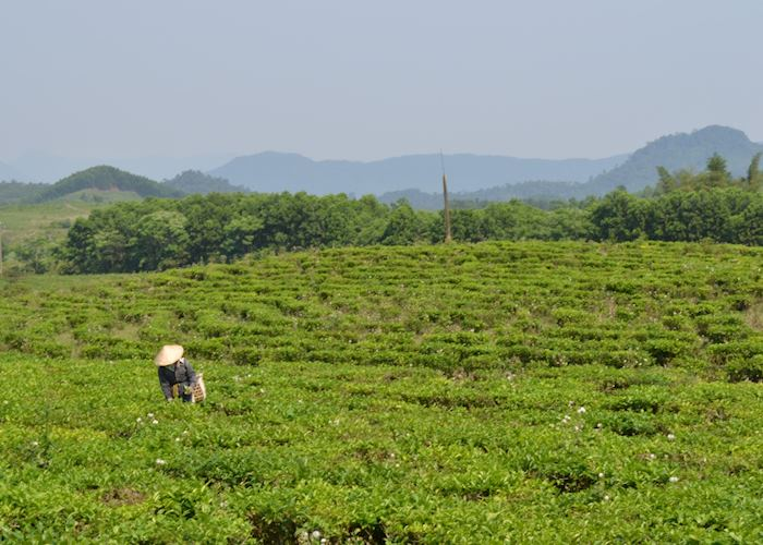 Tea plantations in the hills outside Hoi An