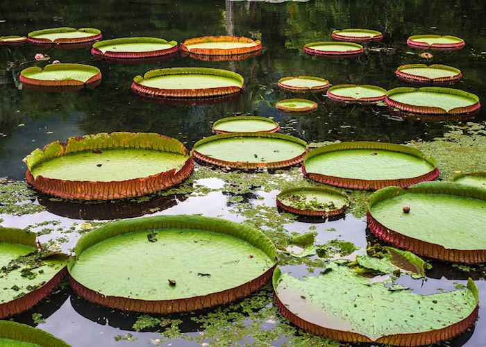 Giant Lillypads, Brazilian Amazon