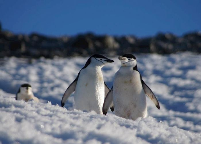 Chinstrap penguins in the Antarctic Peninsula