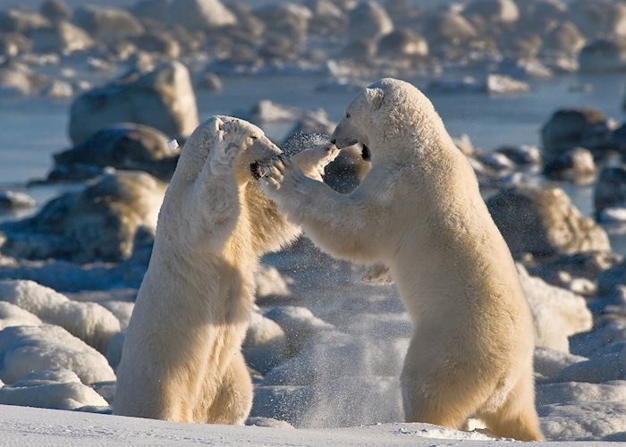 Sparring polar bear near Seal River Heritage Lodge