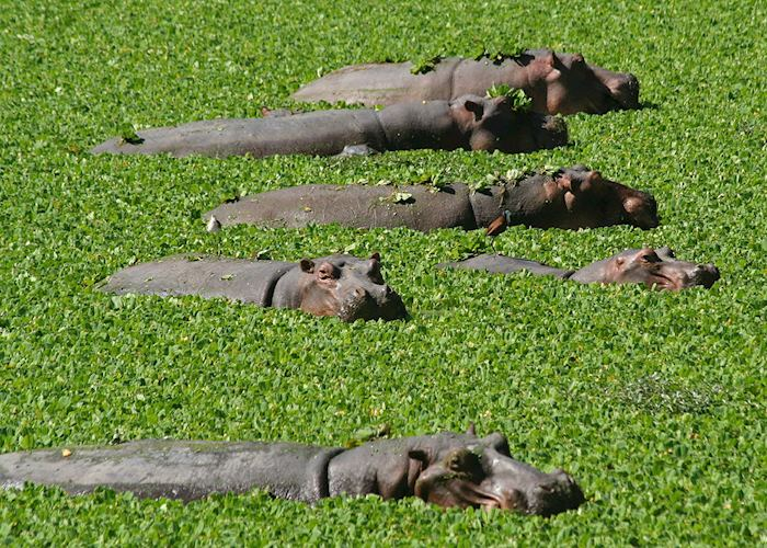 Hippos, South Luangwa National Park, Zambia
