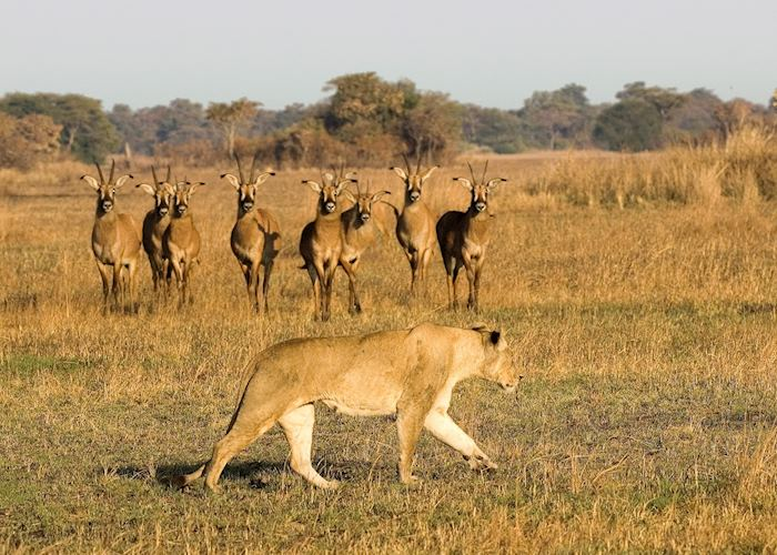 Lioness and roan antelope, Busanga region, Kafue National Park
