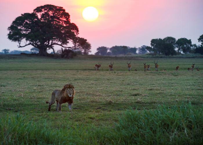 Lion on the Busanga Plains, Kafue National Park