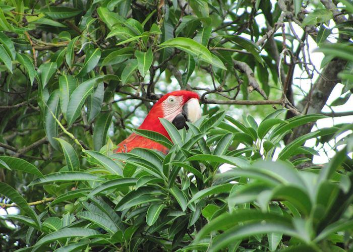 Macaw in Minca