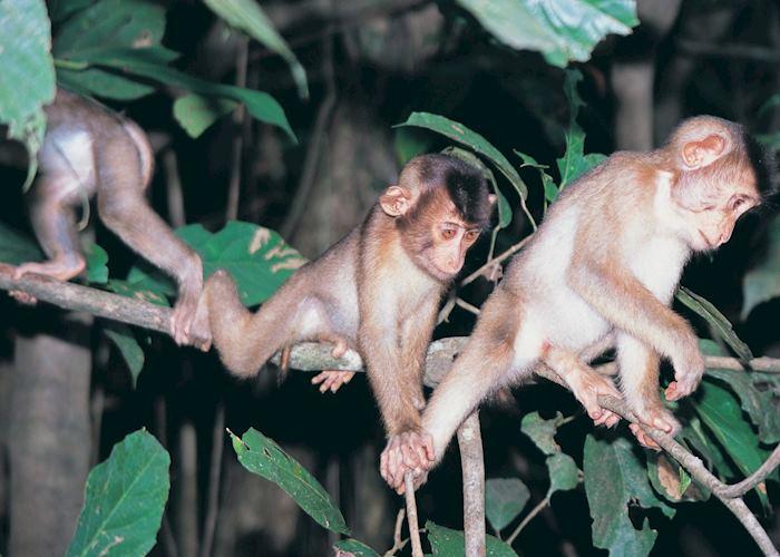 Pig-tailed macaque, Kinabatangan River, Malaysian Borneo