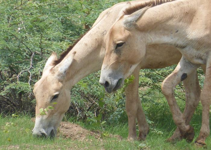Wild asses, Dasada, Gujarat