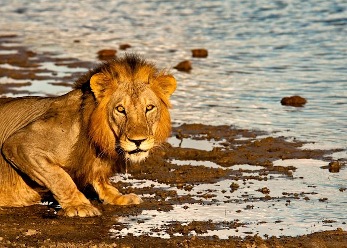 Lion in the Selous Game Reserve, Tanzania