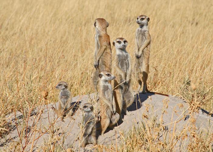 Meerkat family, Makgadikgadi Pans