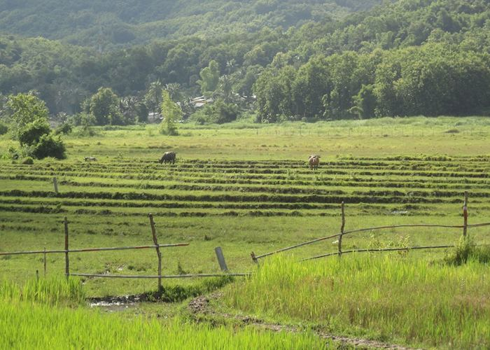 Rice fields at the Living Land Rice Experience, Luang Prabang