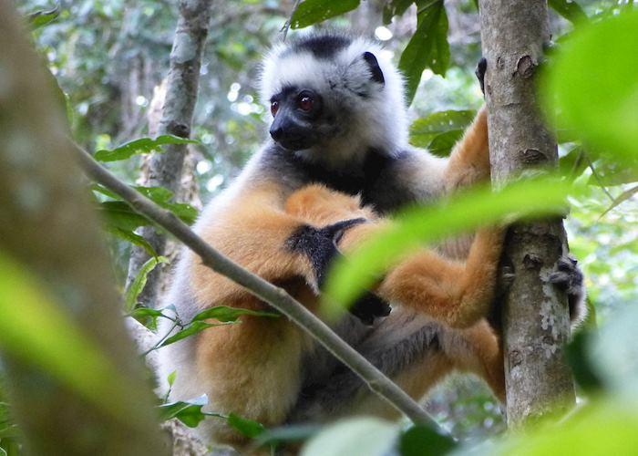 Diademed Sifaka, Andasibe, Madagascar