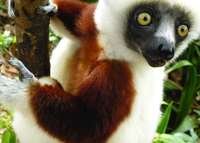 Coquerel's Sifaka, Madagascar