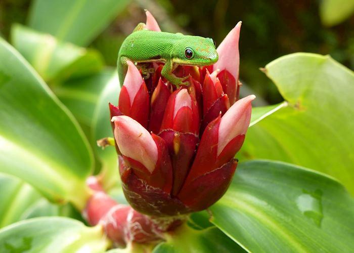 Gecko in Andasibe, Madagascar